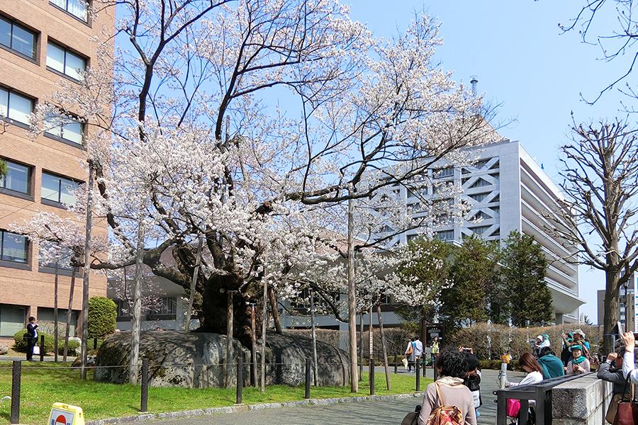 北野博司 #07 盛岡地方裁判所前の石割桜