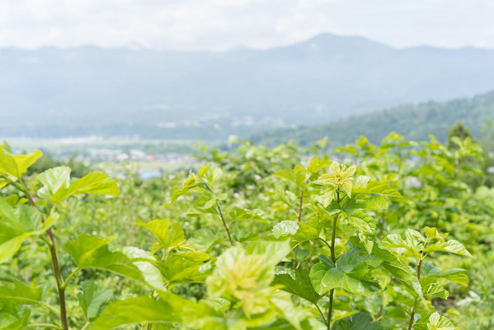 株式会社とみひろ 養蚕部 兼 広報部 星美沙子さん カイコの餌となる桑の葉